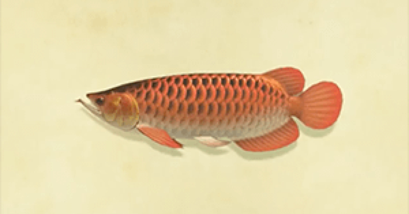 Arowana Animal Crossing New Horizons