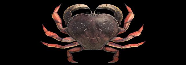 Granciporro Animal Crossing creature marine