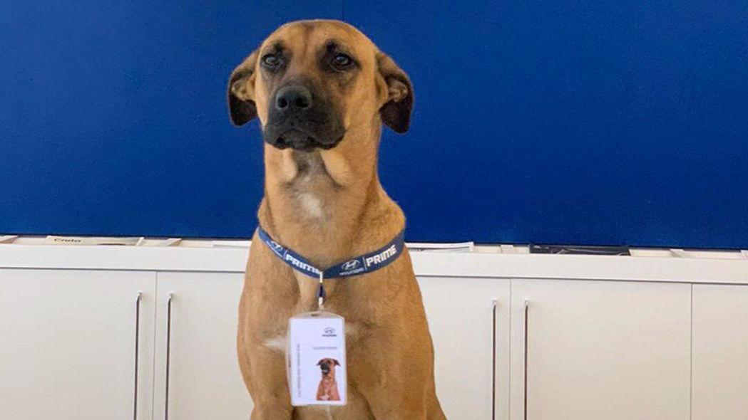 """Tucson, il cane randagio """"assunto"""" in un concessionario Prime Hyundai thumbnail"""