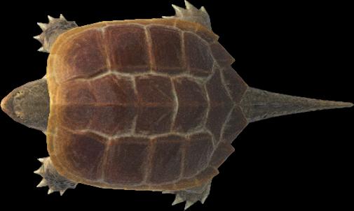 Tartaruga azzannatrice Animal Crossing New Horizons
