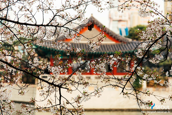 Cherry-Blossom-Korea-Tech-Princess
