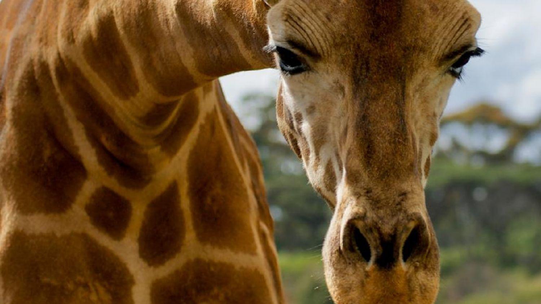 Come trascorrere il Natale con una giraffa grazie a Google thumbnail