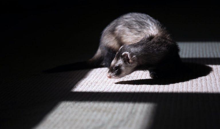 Stati Uniti, il furetto diventa la prima specie a rischio di estinzione a essere clonata