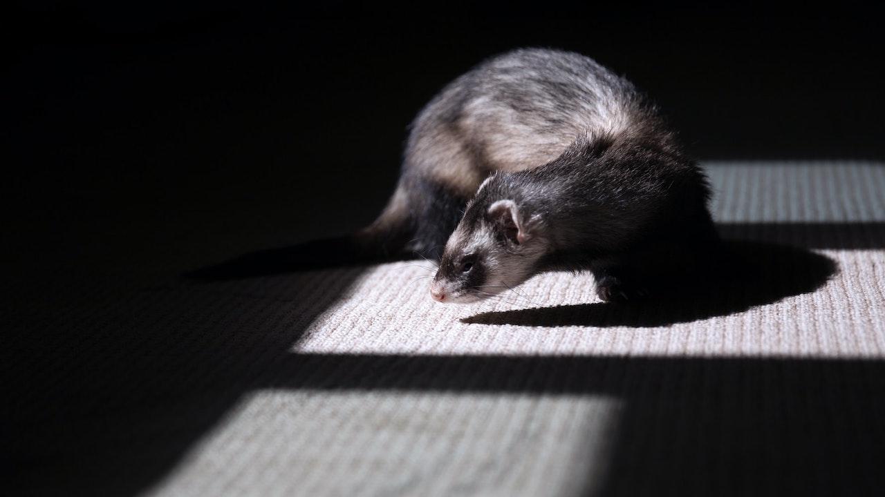 Stati Uniti, il furetto diventa la prima specie a rischio di estinzione a essere clonata thumbnail
