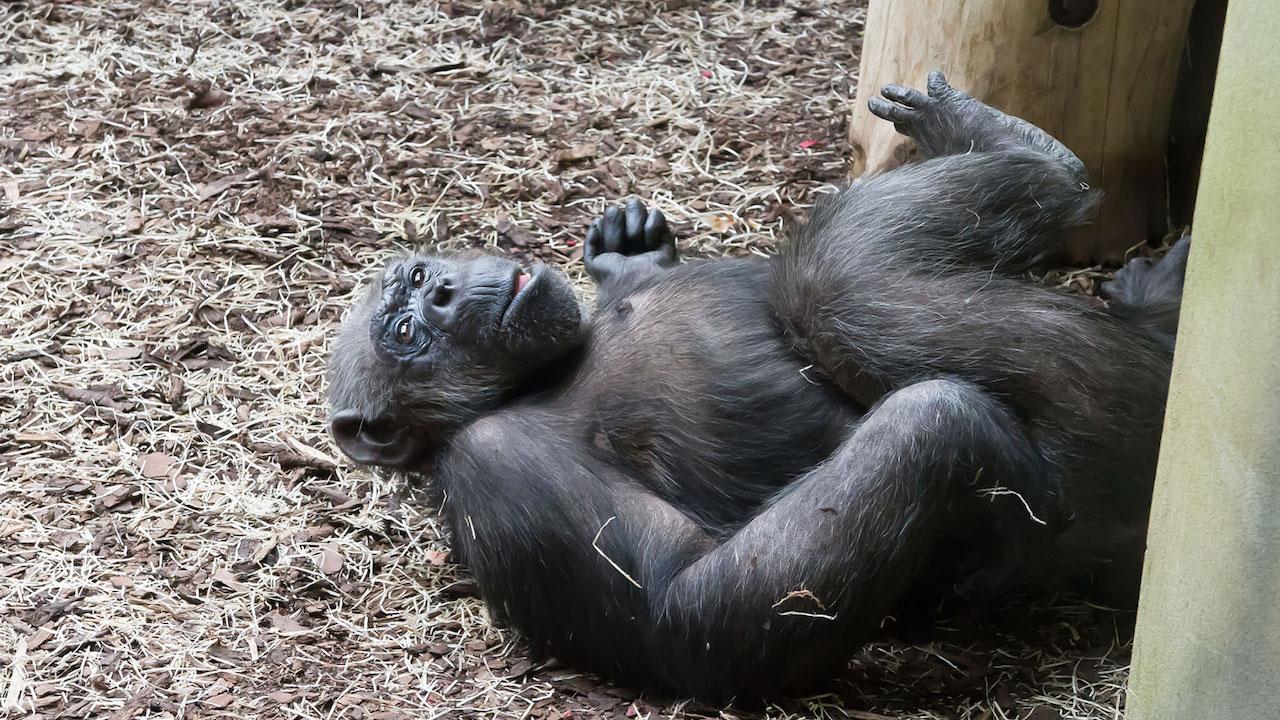 Gli scimpanzè degli zoo della Repubblica Ceca amano Zoom Meeting thumbnail