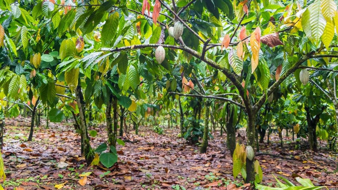Con un acquisto su misterBonny.it si può adottare un albero in Camerun thumbnail