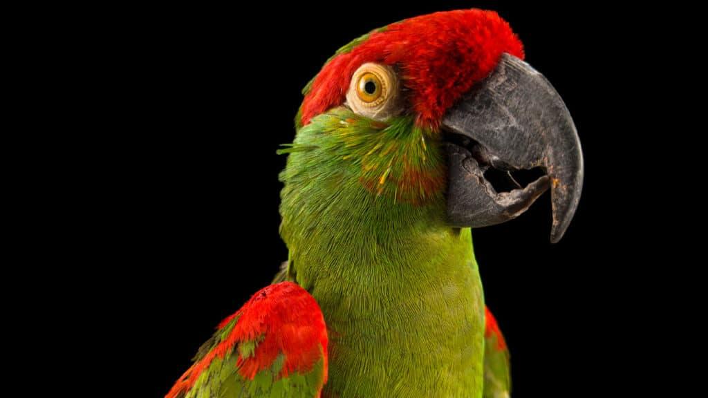 endangered colour - pappagallo beccospesso