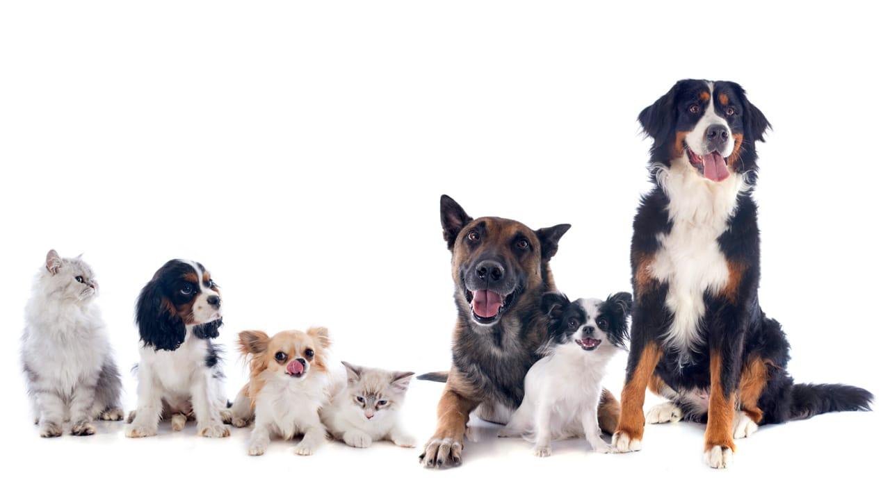 Pedigreender, l'app di incontri per cani e gatti thumbnail